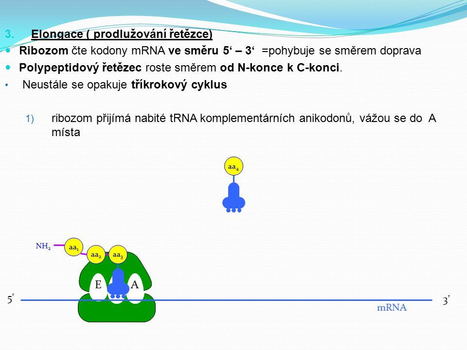 3. Elongace ( prodlužování řetězce) Ribozom čte kodony mRNA ve směru 5' – 3' =pohybuje se směrem doprava Polypeptidový řetězec roste směrem od N-konce