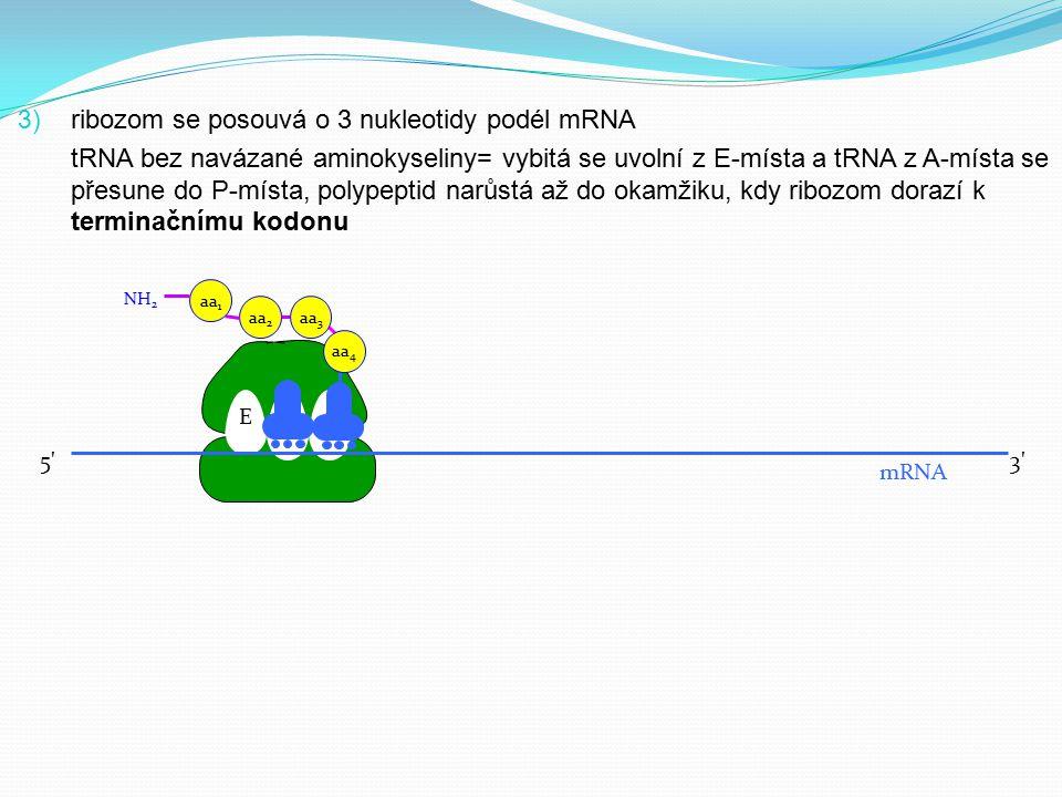 3) ribozom se posouvá o 3 nukleotidy podél mRNA tRNA bez navázané aminokyseliny= vybitá se uvolní z E-místa a tRNA z A-místa se přesune do P-místa, po