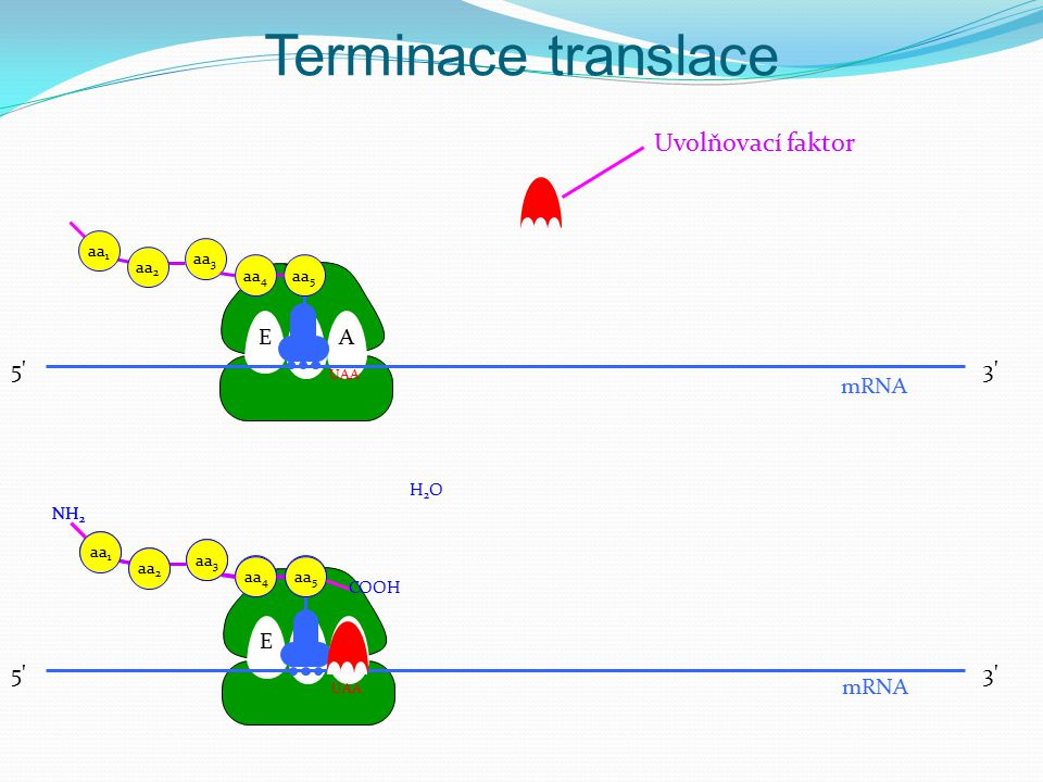Terminace translace EPA 3' mRNA H2OH2O UAA NH 2 aa 5 aa 4 aa 3 aa 2 aa 1 NH 2 aa 5 aa 4 aa 3 aa 2 aa 1 COOH EPA aa 5 aa 4 aa 3 aa 2 aa 1 mRNA UAA Uvol