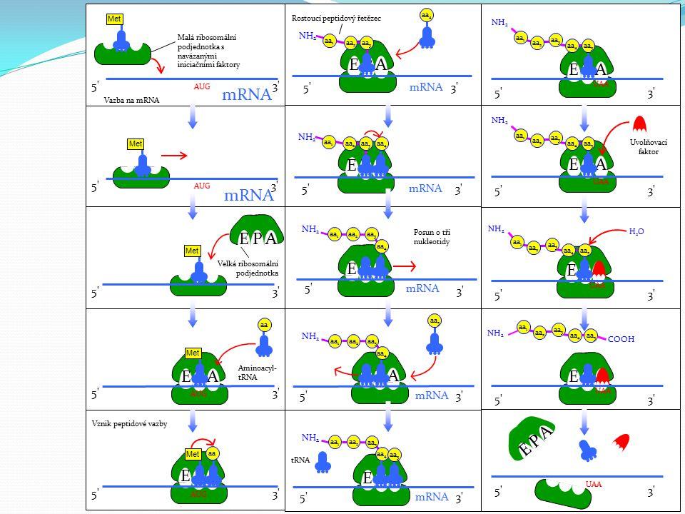 EPA 5'3' aa AUG 5'3' mRNA Malá ribosomální podjednotka s navázanými iniciačními faktory AUG 3' Vazba na mRNA AUG 5'3' mRNA AUG 3' Met aa Velká ribosom