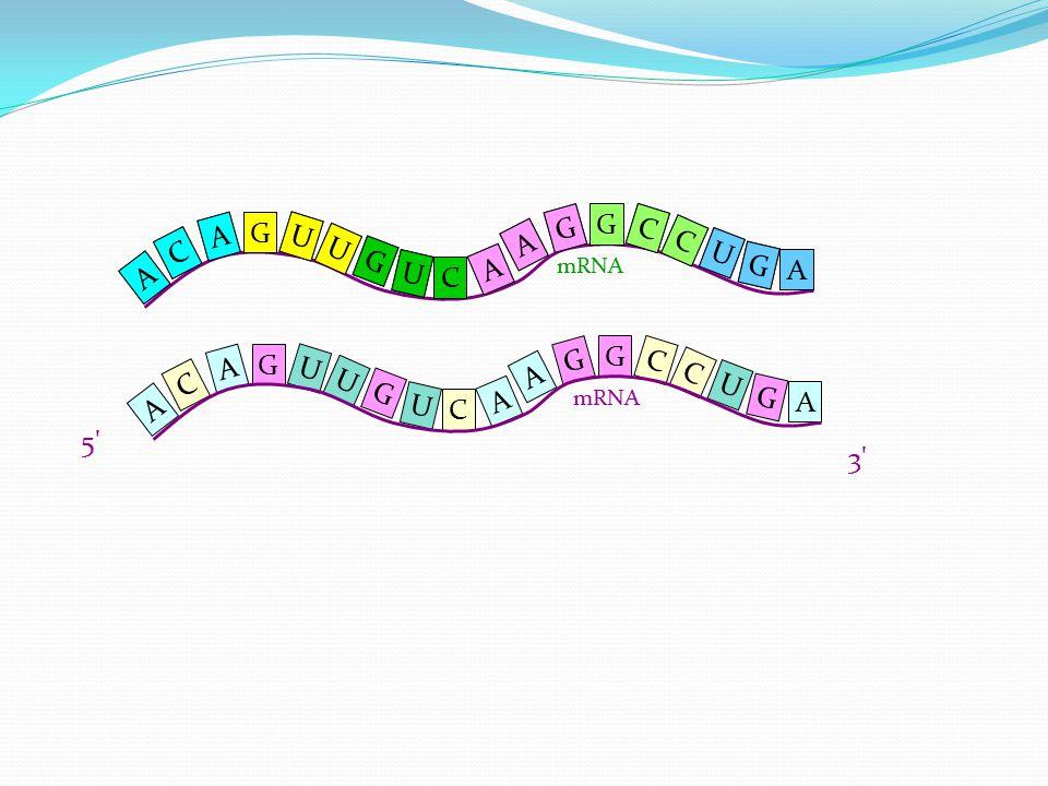 A U G U U G C A C A G U C C G A G A mRNA 5' 3' A U G U U G C A C A G U C C G A G A U U G U G C A A C C C G G U A A G A mRNA