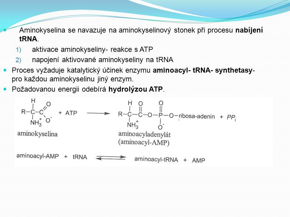 Aminokyselina se navazuje na aminokyselinový stonek při procesu nabíjení tRNA. 1) aktivace aminokyseliny- reakce s ATP 2) napojení aktivované aminokys