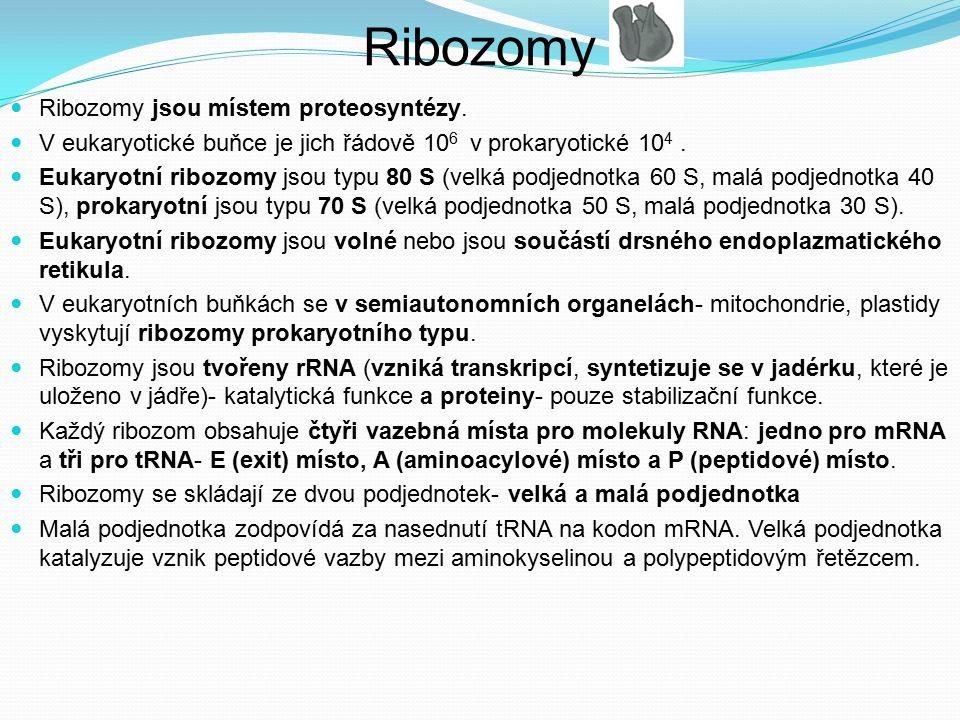 Ribozomy jsou místem proteosyntézy. V eukaryotické buňce je jich řádově 10 6 v prokaryotické 10 4. Eukaryotní ribozomy jsou typu 80 S (velká podjednot