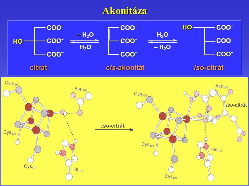 iso-citrát Akonitáza COO – HO – – H 2 O H 2 O iso-citrát cis-akonitát citrát HO H 2 O – – H 2 O