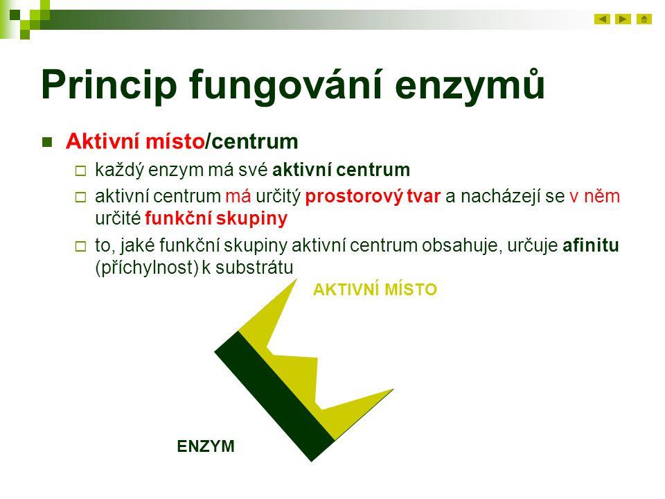 Princip fungování enzymů Aktivní místo/centrum  každý enzym má své aktivní centrum  aktivní centrum má určitý prostorový tvar a nacházejí se v něm u