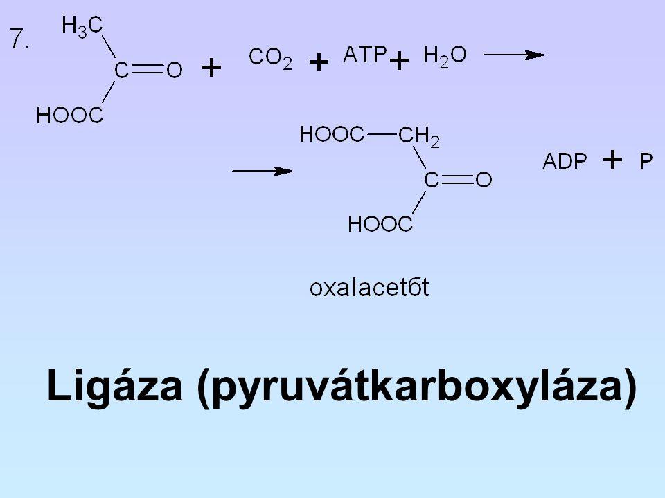 Ligáza (pyruvátkarboxyláza)