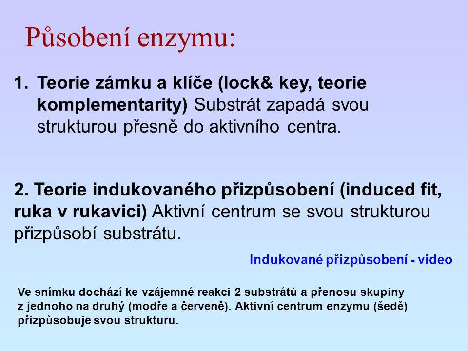 Působení enzymu: 1.Teorie zámku a klíče (lock& key, teorie komplementarity) Substrát zapadá svou strukturou přesně do aktivního centra. 2. Teorie indu