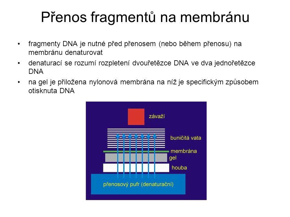 Přenos fragmentů na membránu fragmenty DNA je nutné před přenosem (nebo během přenosu) na membránu denaturovat denaturací se rozumí rozpletení dvouřet