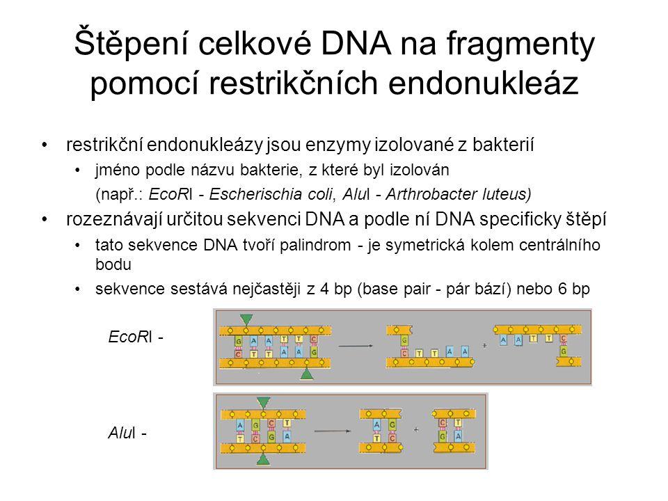Štěpení celkové DNA na fragmenty pomocí restrikčních endonukleáz restrikční endonukleázy jsou enzymy izolované z bakterií jméno podle názvu bakterie,