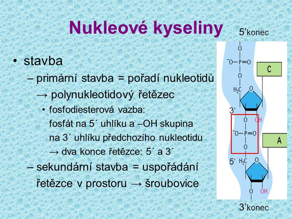 Nukleové kyseliny stavba –primární stavba = pořadí nukleotidů v řetězci → polynukleotidový řetězec fosfodiesterová vazba: fosfát na 5´ uhlíku a –OH sk