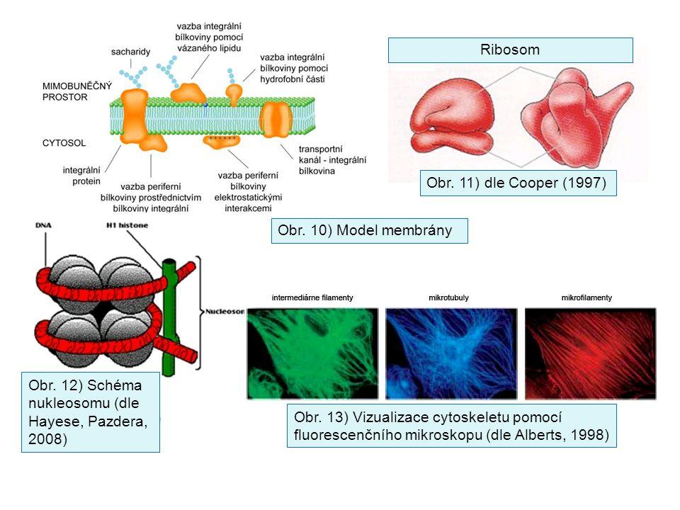 Obr. 10) Model membrány Obr. 11) dle Cooper (1997) Obr. 12) Schéma nukleosomu (dle Hayese, Pazdera, 2008) Obr. 13) Vizualizace cytoskeletu pomocí fluo