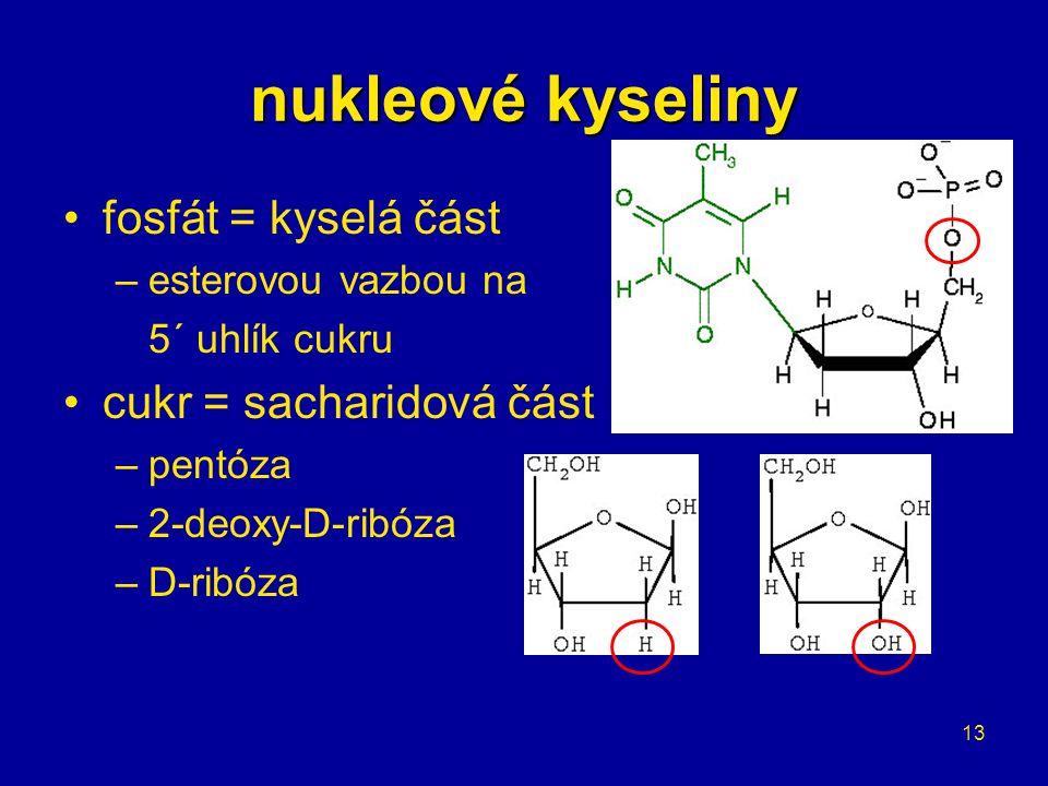 13 nukleové kyseliny fosfát = kyselá část –esterovou vazbou na 5´ uhlík cukru cukr = sacharidová část –pentóza –2-deoxy-D-ribóza –D-ribóza