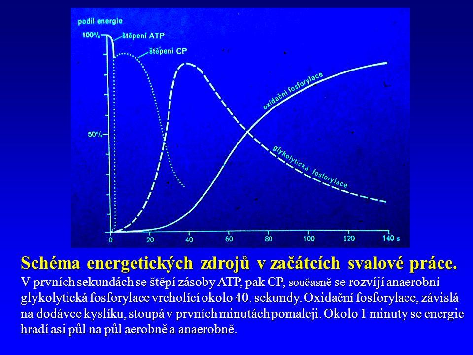 Schéma energetických zdrojů v začátcích svalové práce.