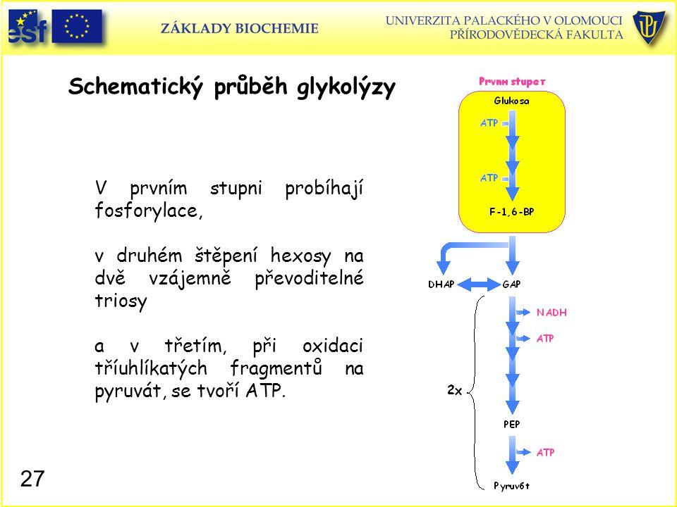 27 Schematický průběh glykolýzy V prvním stupni probíhají fosforylace, v druhém štěpení hexosy na dvě vzájemně převoditelné triosy a v třetím, při oxi