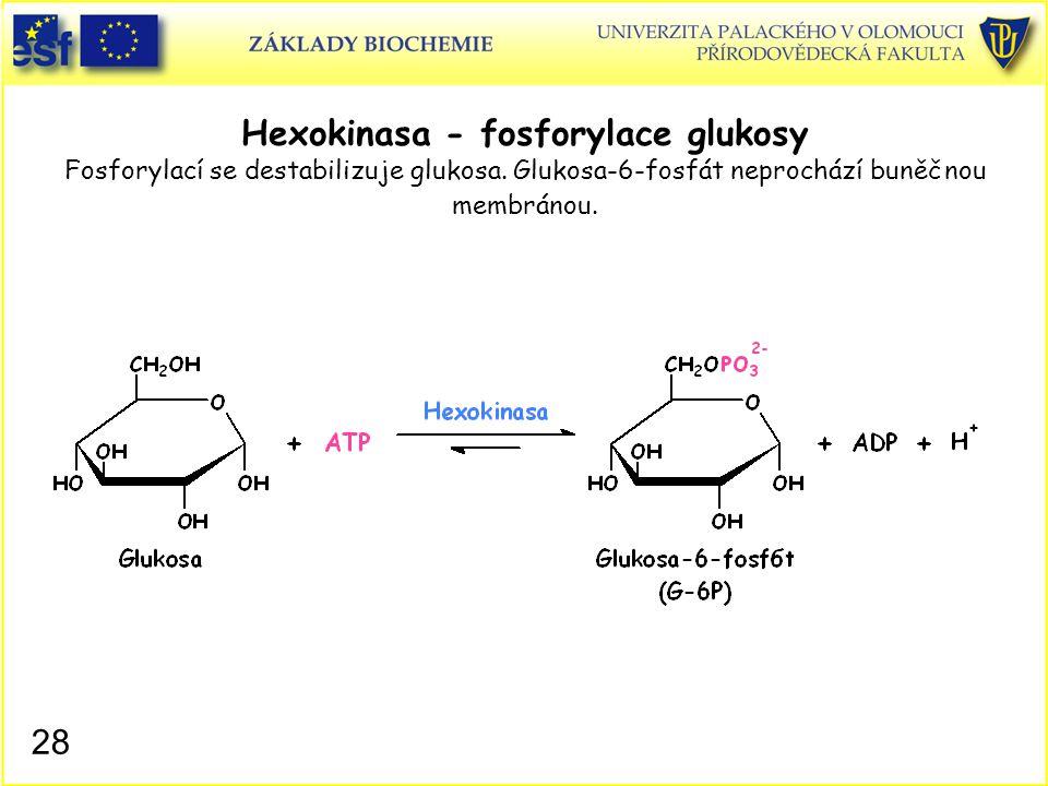 28 Hexokinasa - fosforylace glukosy Fosforylací se destabilizuje glukosa. Glukosa-6-fosfát neprochází buněčnou membránou.