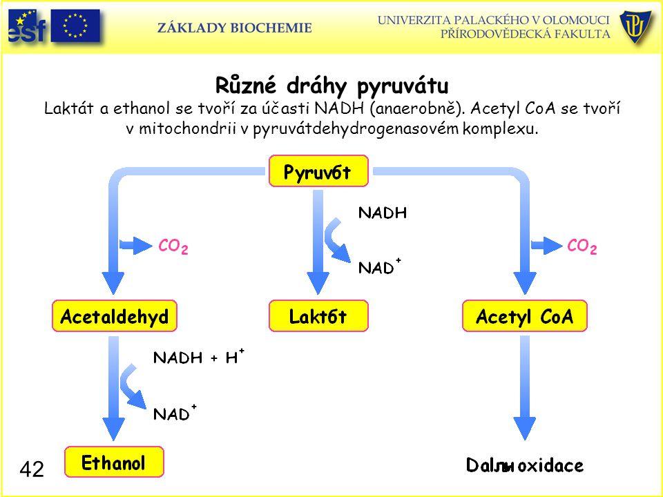 42 Různé dráhy pyruvátu Laktát a ethanol se tvoří za účasti NADH (anaerobně). Acetyl CoA se tvoří v mitochondrii v pyruvátdehydrogenasovém komplexu.