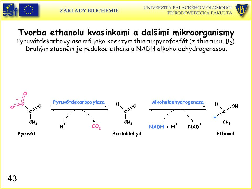 43 Tvorba ethanolu kvasinkami a dalšími mikroorganismy Pyruvátdekarboxylasa má jako koenzym thiaminpyrofosfát (z thiaminu, B 2 ). Druhým stupněm je re