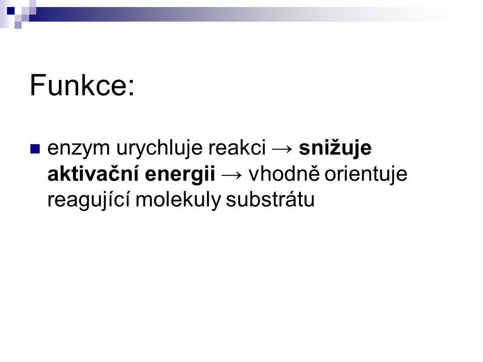 Funkce: enzym urychluje reakci → snižuje aktivační energii → vhodně orientuje reagující molekuly substrátu