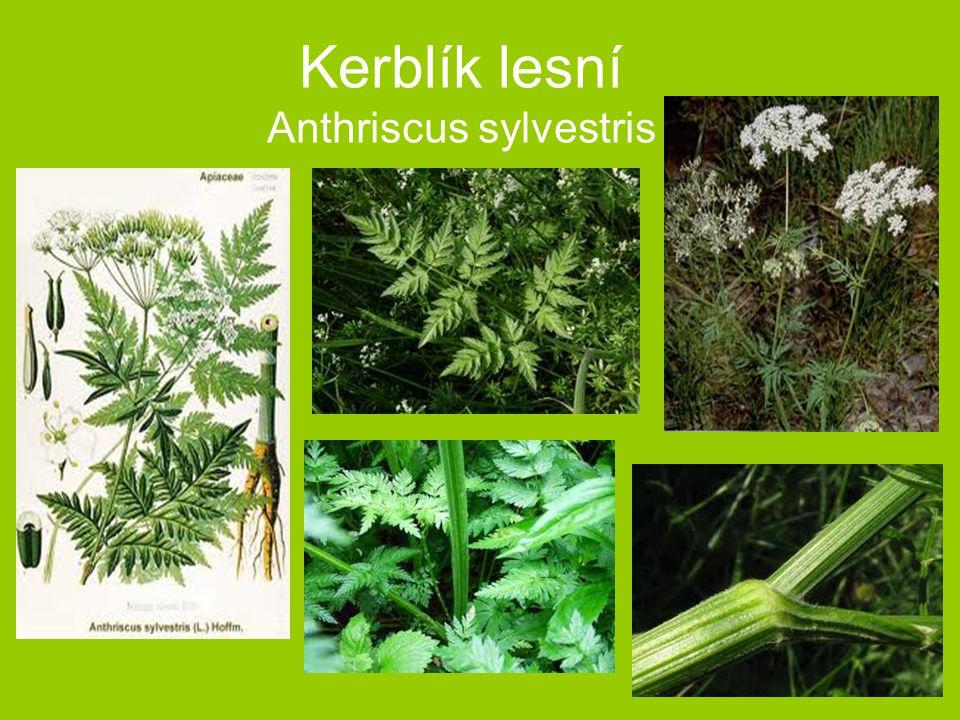 Kerblík lesní Anthriscus sylvestris