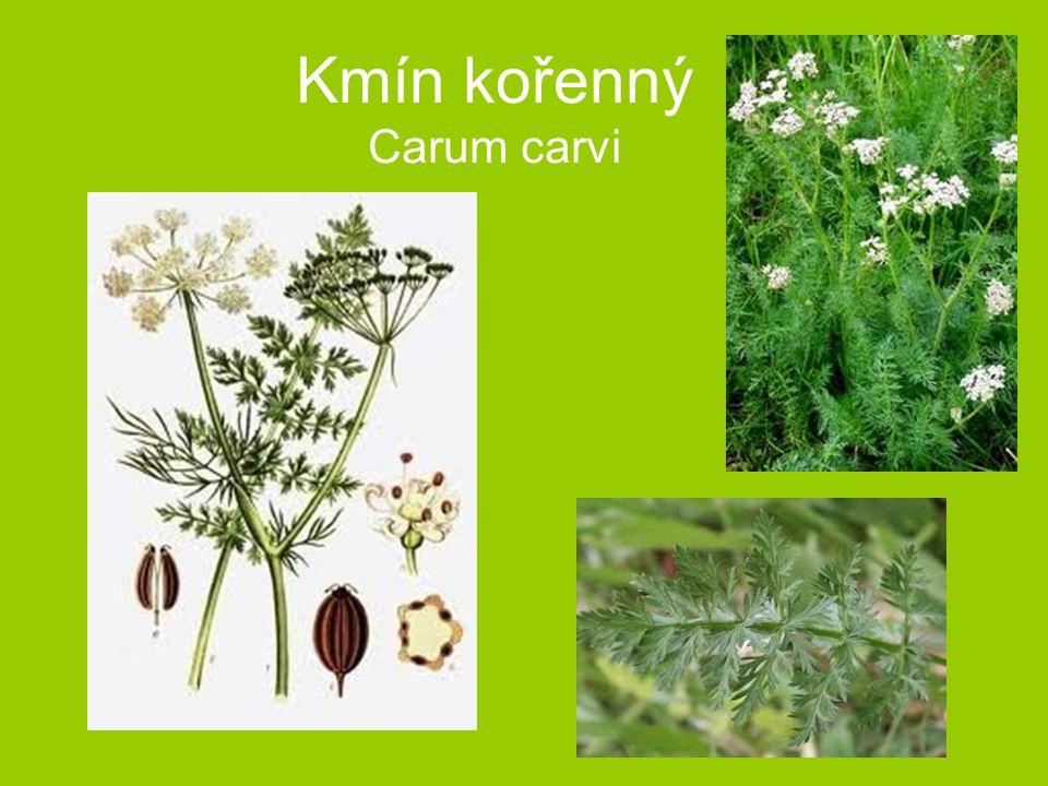 Kmín kořenný Carum carvi