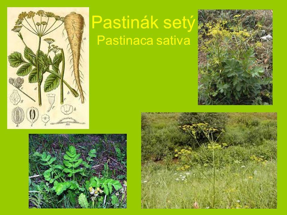 Pastinák setý Pastinaca sativa