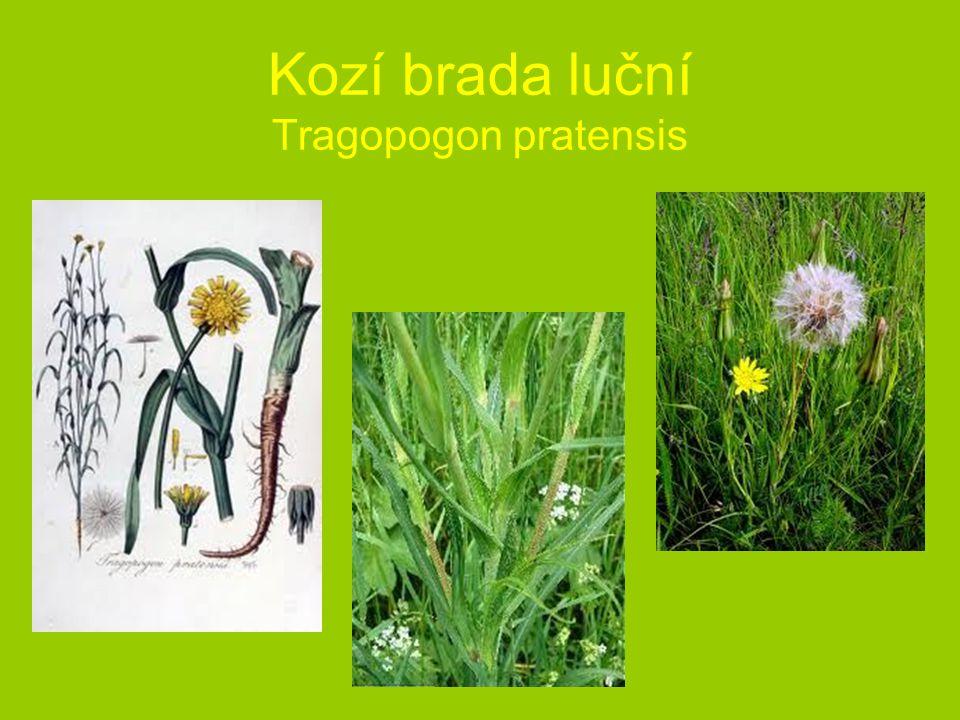 Kozí brada luční Tragopogon pratensis