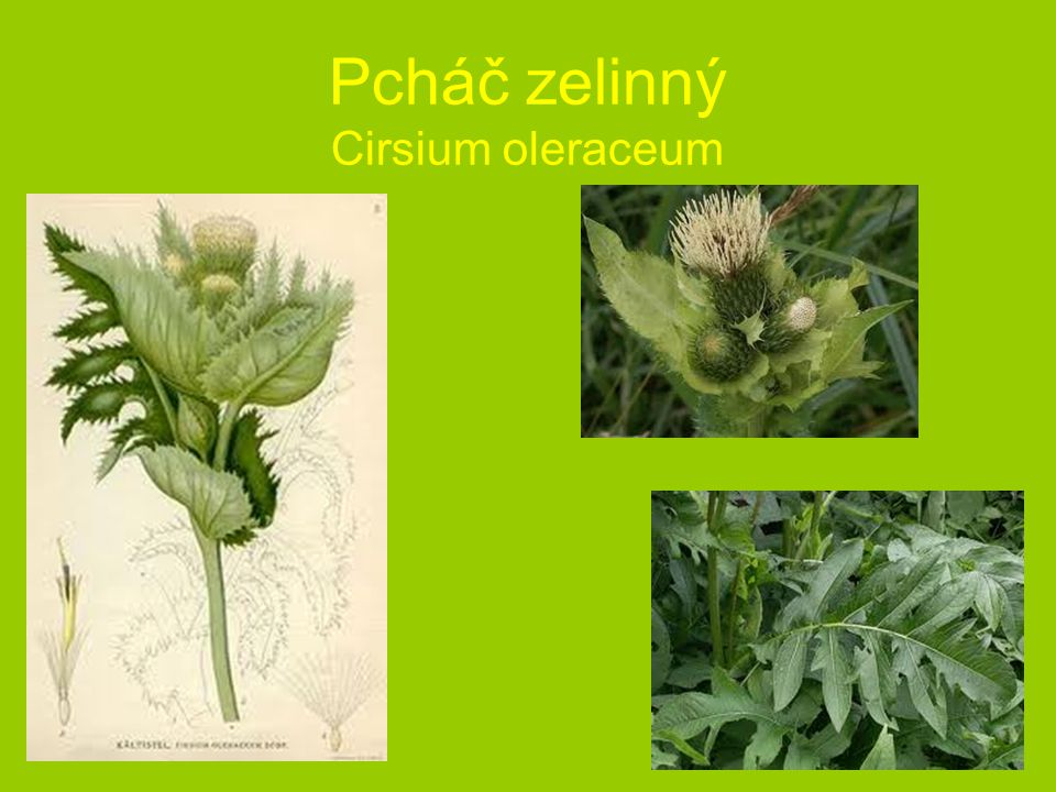 Pcháč zelinný Cirsium oleraceum