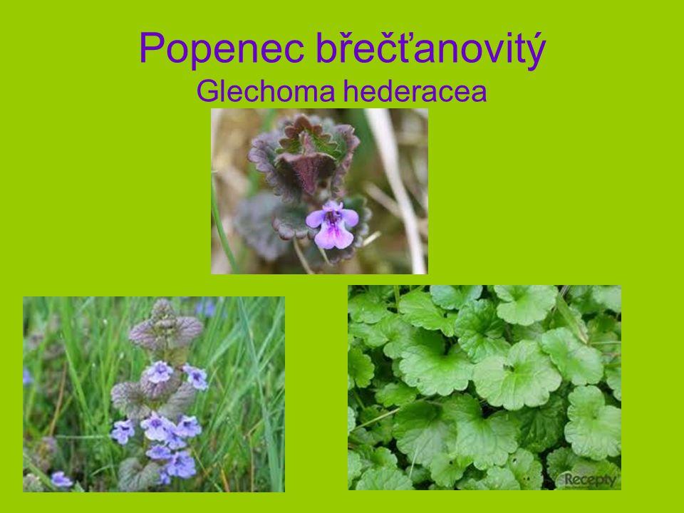 Popenec břečťanovitý Glechoma hederacea