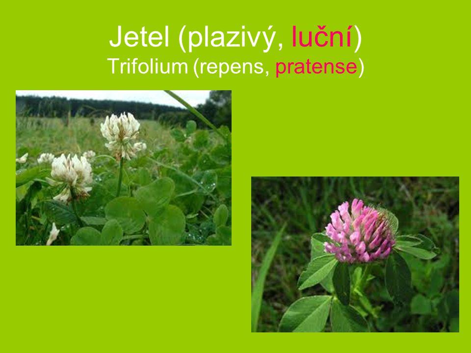 Jetel (plazivý, luční) Trifolium (repens, pratense)