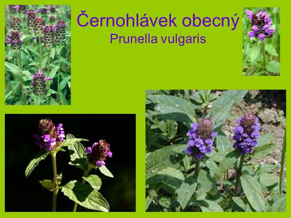Černohlávek obecný Prunella vulgaris