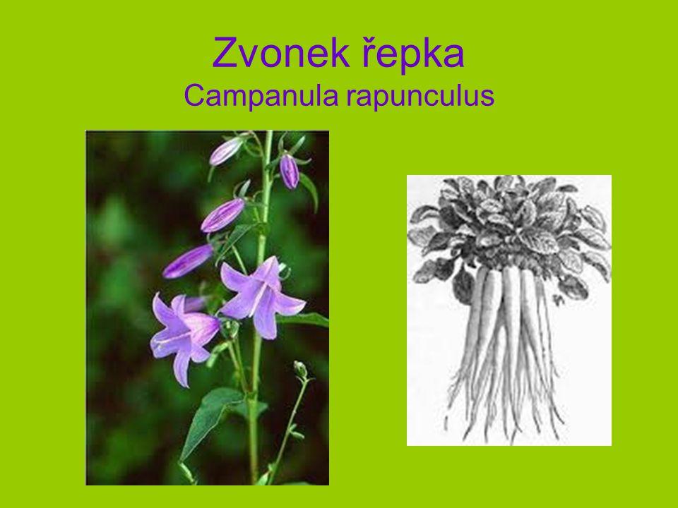 Zvonek řepka Campanula rapunculus