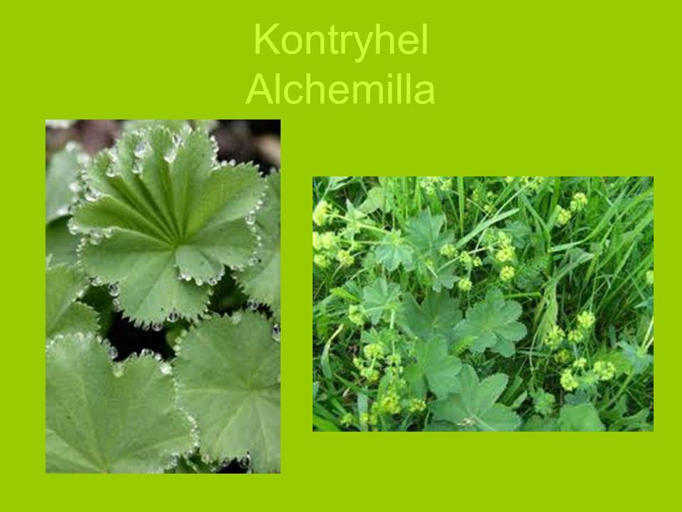 Kontryhel Alchemilla