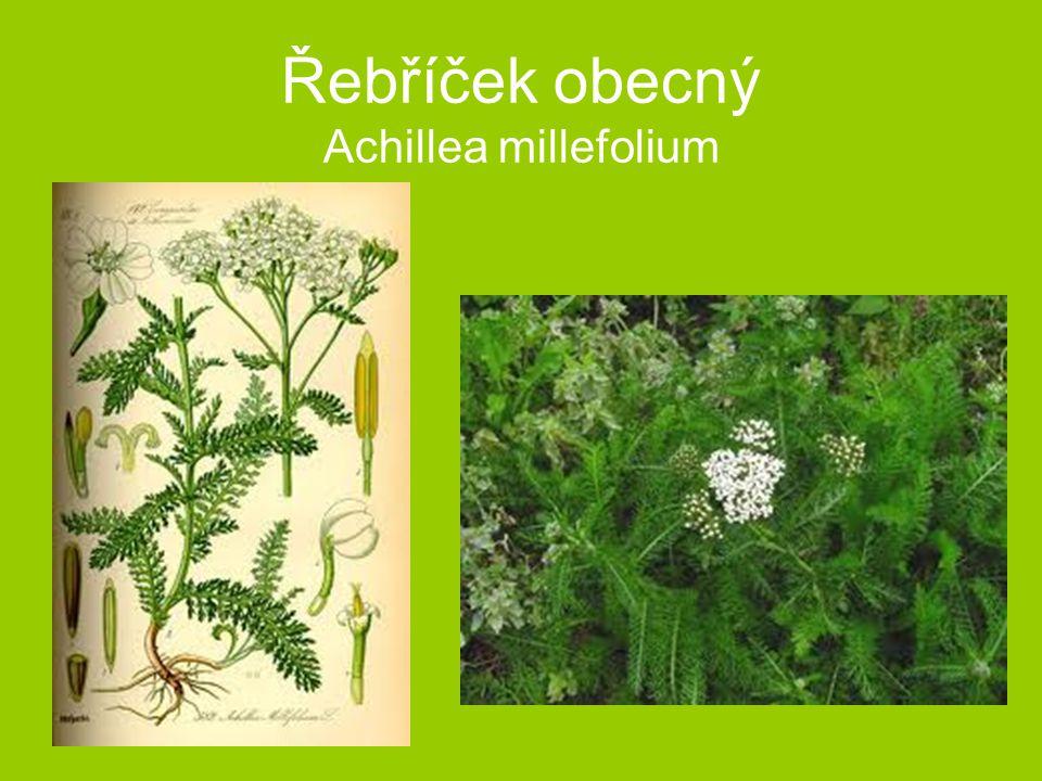 Řebříček obecný Achillea millefolium