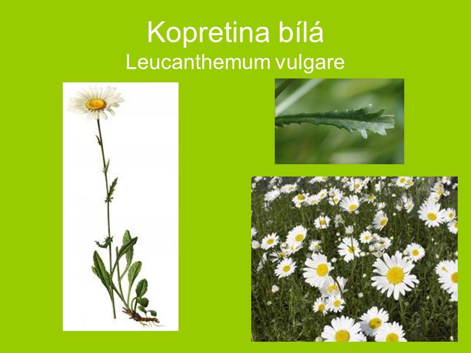 Kopretina bílá Leucanthemum vulgare