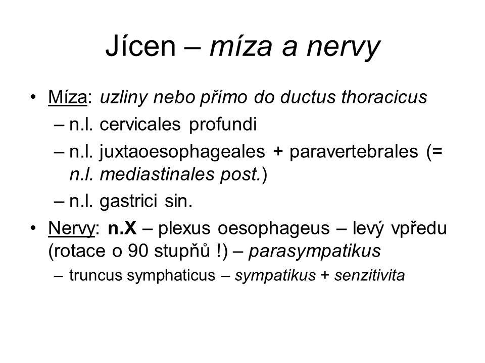 Jícen – míza a nervy Míza: uzliny nebo přímo do ductus thoracicus –n.l.