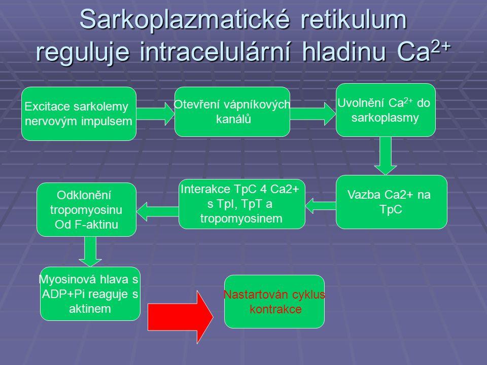 Sarkoplazmatické retikulum reguluje intracelulární hladinu Ca 2+ Excitace sarkolemy nervovým impulsem Nastartován cyklus kontrakce Otevření vápníkových kanálů Myosinová hlava s ADP+Pi reaguje s aktinem Odklonění tropomyosinu Od F-aktinu Uvolnění Ca 2+ do sarkoplasmy Vazba Ca2+ na TpC Interakce TpC 4 Ca2+ s TpI, TpT a tropomyosinem