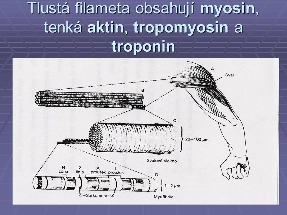 Tlustá filameta obsahují myosin, tenká aktin, tropomyosin a troponin