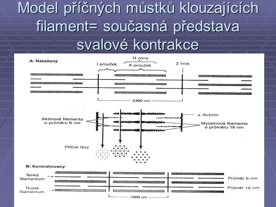 Model příčných můstků klouzajících filament= současná představa svalové kontrakce
