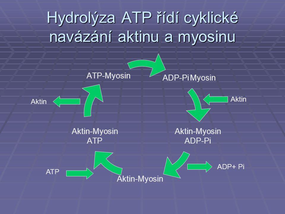 Hydrolýza ATP řídí cyklické navázání aktinu a myosinu ADP-Pi Myosin Aktin- Myosin ADP-Pi Aktin- Myosin ATP ATP- Myosin Aktin ADP+ Pi ATP Aktin