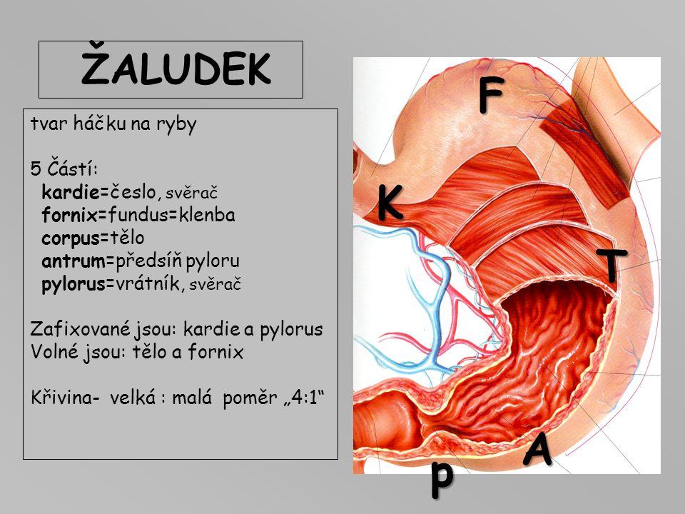 JÍCEN Oesophagus 25cm, Část hrudní a břišní, přechod v oblasti bránice – Th10. Žíly dolní třetiny jícnu: odtok krve do HDž a do vena portae Zvýšení tl