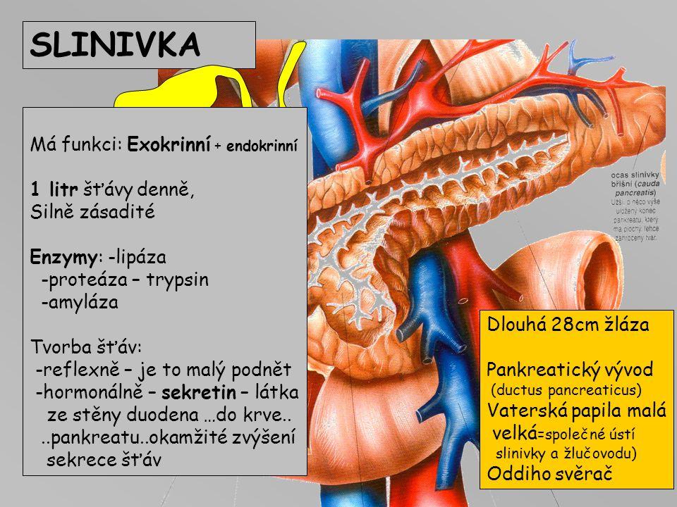 ŽLUČNÍK Žlučové cesty: Vnitřní žlučovody -intrahepatální Zevní žlučovody -extrahepatální 5-10cm, šíře 3-8mm