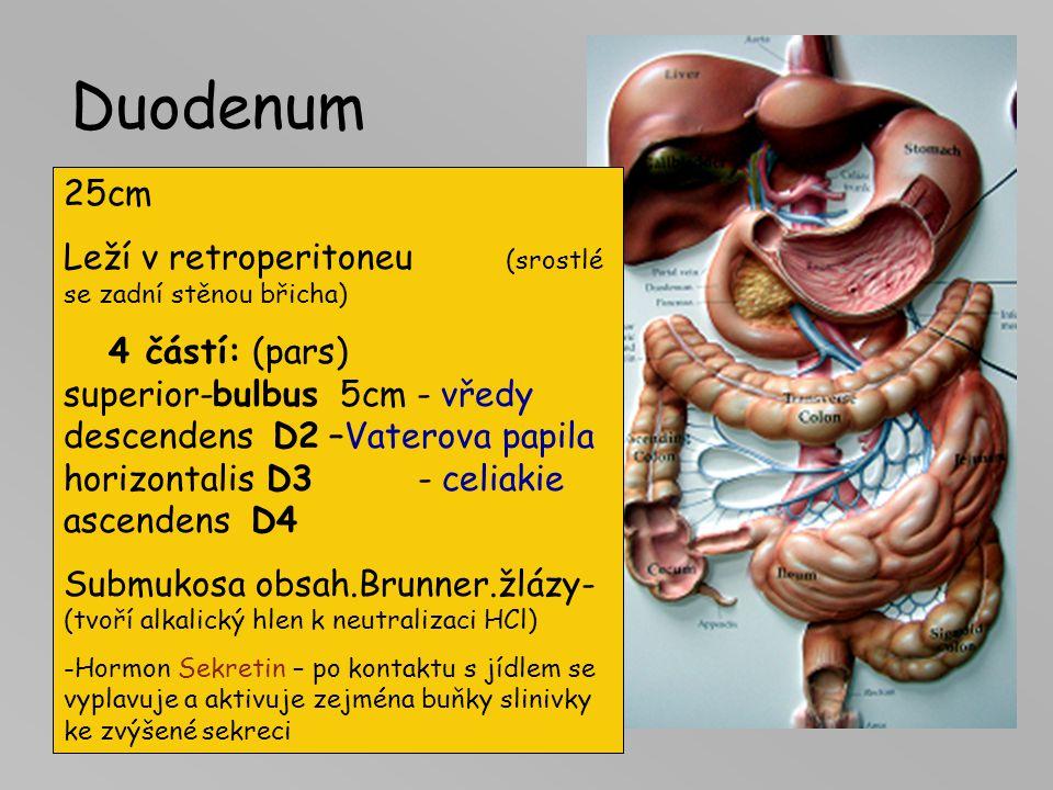 TENKÉ STŘEVO 5-7m Částí tenkého střeva: -Dvanácterník-duodenum -Lačník-jejunum -Kýčelník-ileum Hlavní funkce: štěpení, vstřebávání