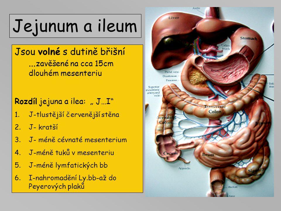 Duodenum 25cm Leží v retroperitoneu (srostlé se zadní stěnou břicha) 4 částí: (pars) superior-bulbus 5cm - vředy descendens D2 –Vaterova papila horizo