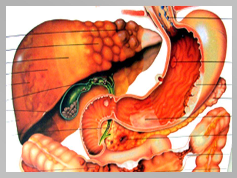 Nemoci GIT Játra – žloutenka-hepatitis – virus žloutenky A,B,C,delta, E, infekční mononukleosa- virus EBV, CMV, cirhosa, fibrosa, steatosa – alkohol,
