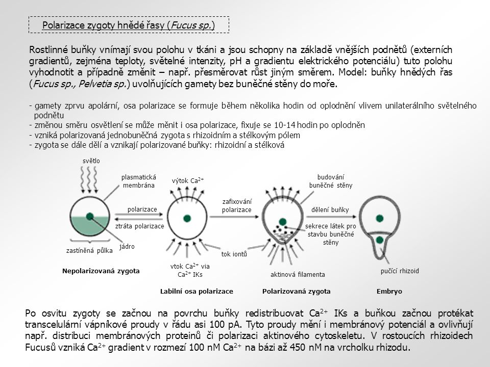 Rostlinné buňky vnímají svou polohu v tkáni a jsou schopny na základě vnějších podnětů (externích gradientů, zejména teploty, světelné intenzity, pH a