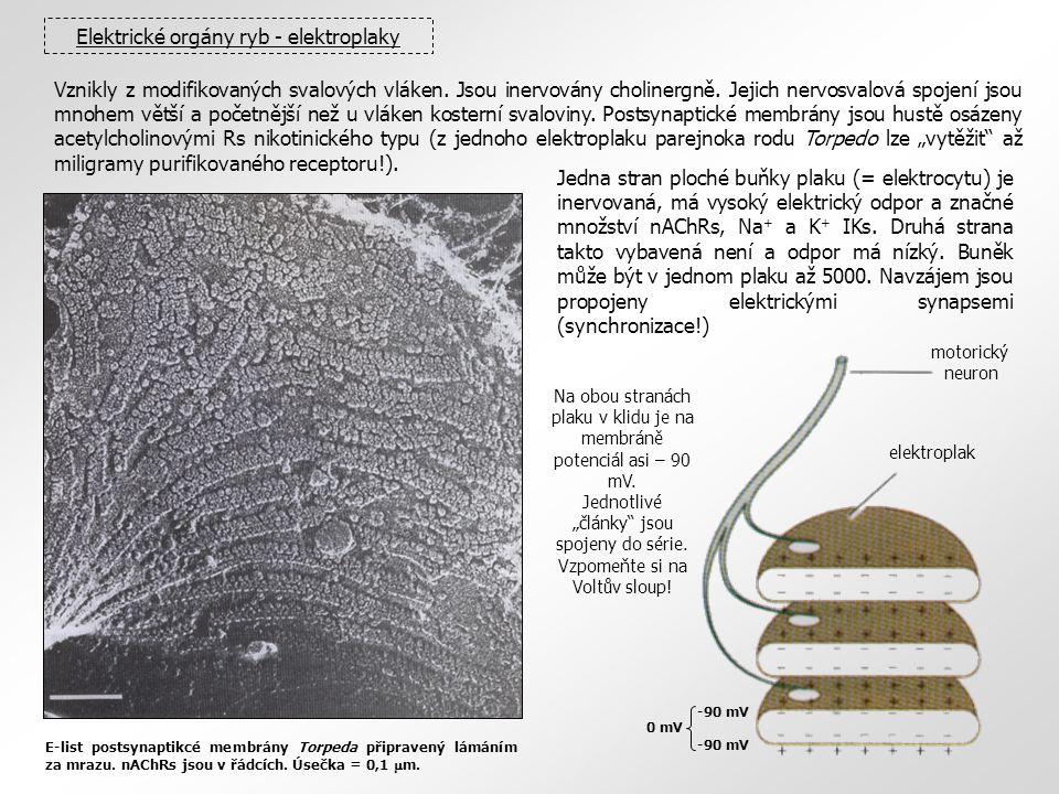 Elektrické orgány ryb - elektroplaky Vznikly z modifikovaných svalových vláken. Jsou inervovány cholinergně. Jejich nervosvalová spojení jsou mnohem v