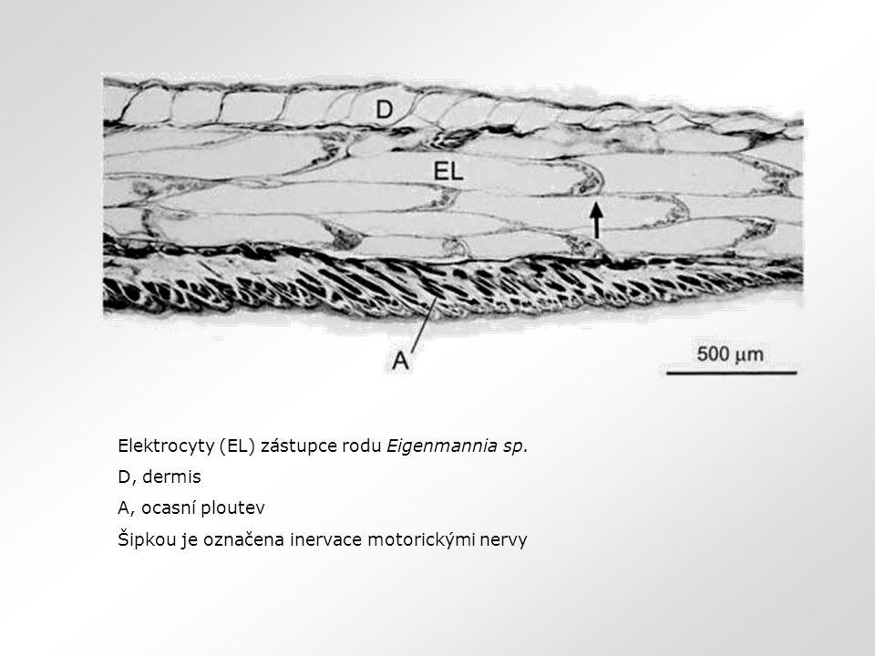 Elektrocyty (EL) zástupce rodu Eigenmannia sp. D, dermis A, ocasní ploutev Šipkou je označena inervace motorickými nervy