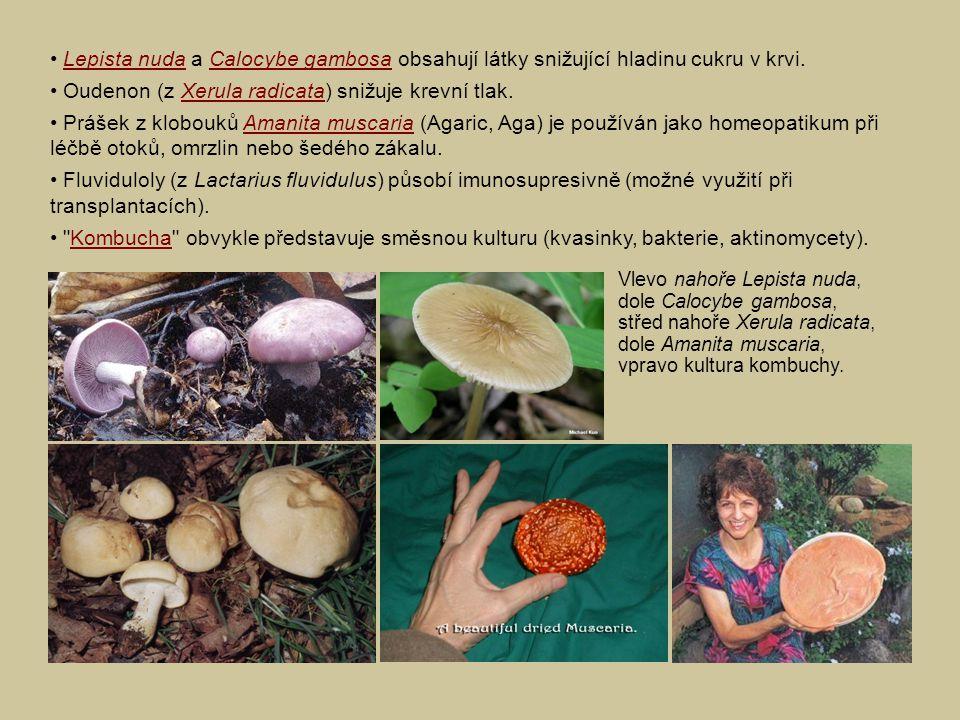 Lepista nuda a Calocybe gambosa obsahují látky snižující hladinu cukru v krvi.Lepista nudaCalocybe gambosa Oudenon (z Xerula radicata) snižuje krevní