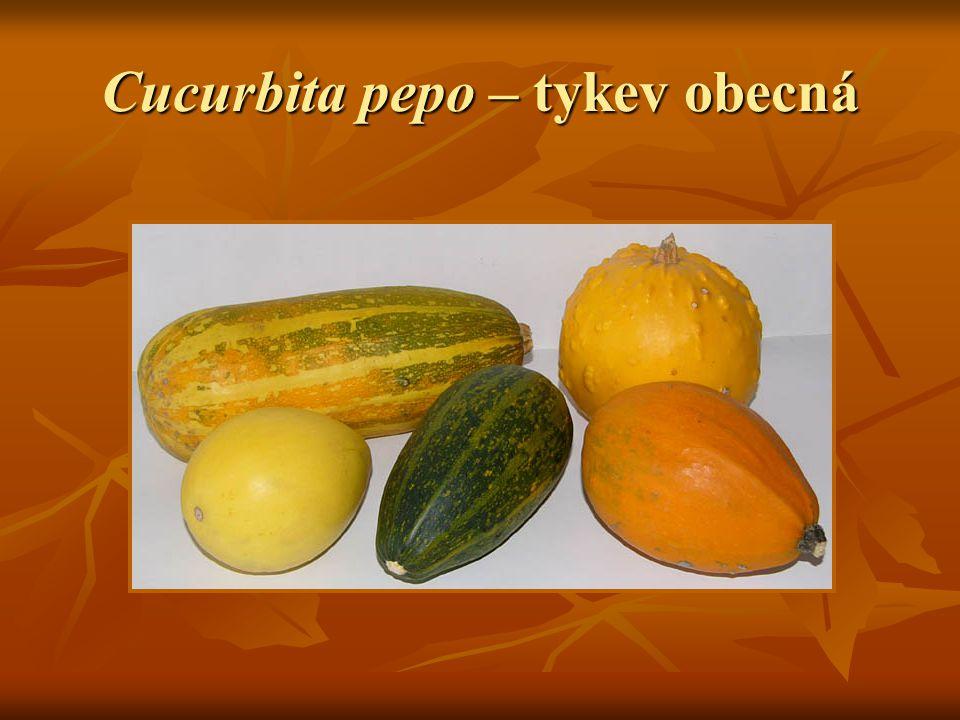 Cucurbita maxima – tykev velkoplodá Původně pochází pravděpodobně z Peru, Paraguaye nebo Argentiny Původně pochází pravděpodobně z Peru, Paraguaye nebo Argentiny Dnes pěstována v Jižní Americe a Sev.