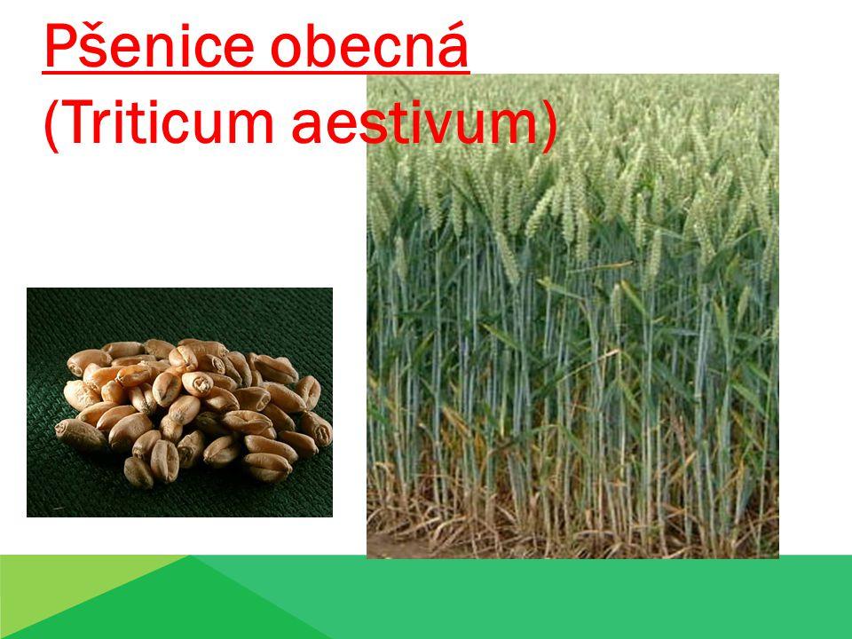 Pšenice obecná (Triticum aestivum)